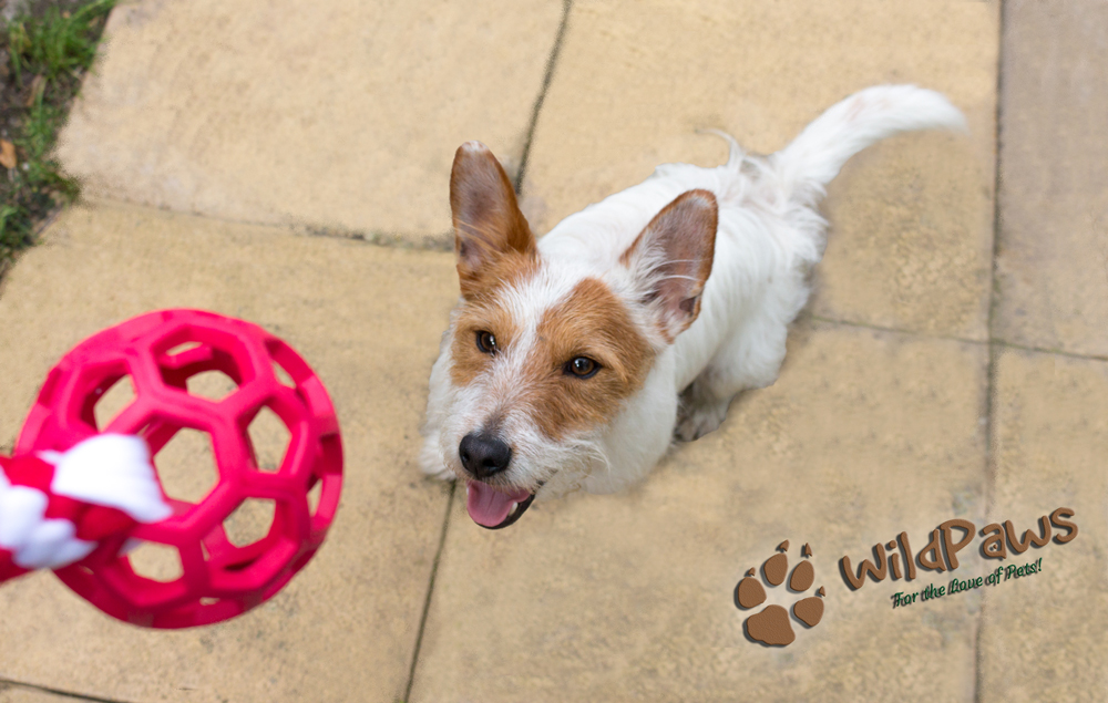 Wilbur Trying Tug Toy by Ruffle Snuffle for WildPaws Online Pet Shop Blog