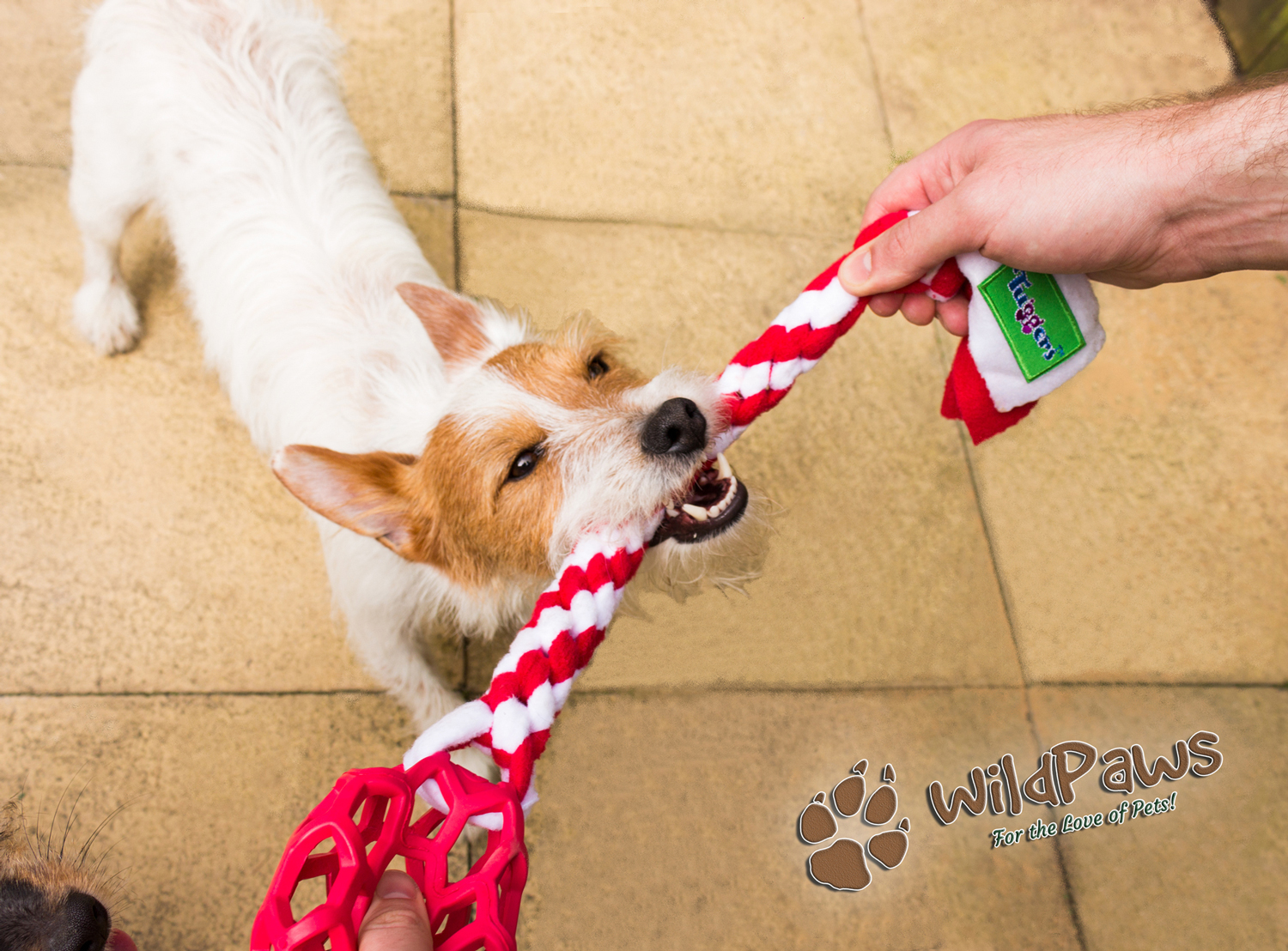 Wilbur Trying the Tug Toy by Ruffle Snuffle for WildPaws Online Pet Shop Blog