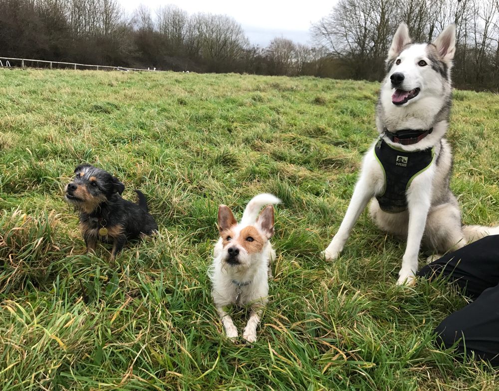 Wilbur & Paisley of WildPaws Meet Hendrix from Happy Husky