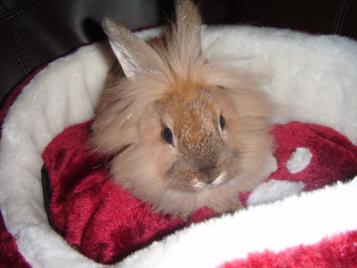Miles the Lionhead First Day at Home