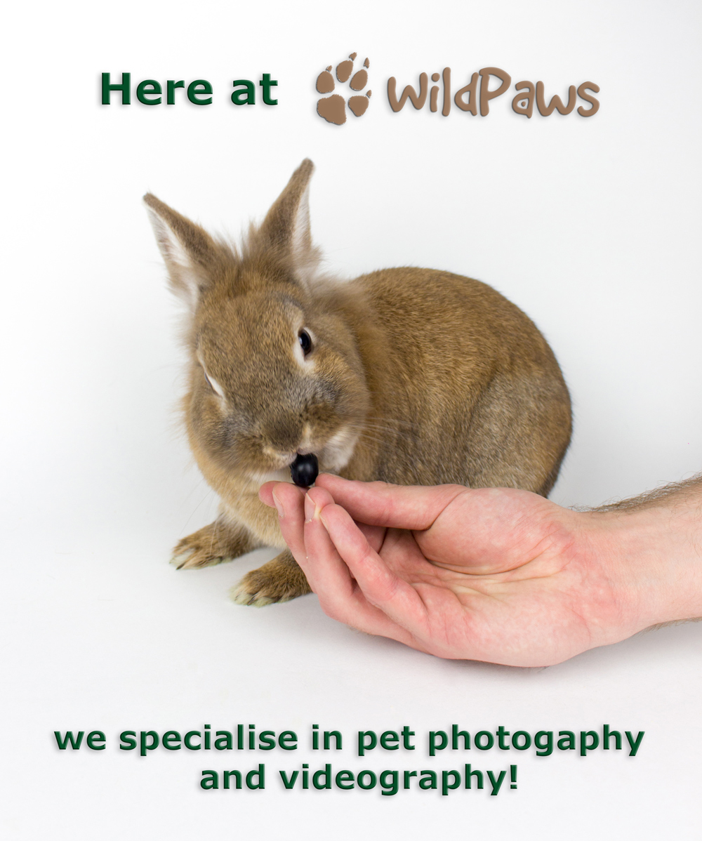 Miles, Our Lionhead Rabbit: WildPaws Online Pet Shop