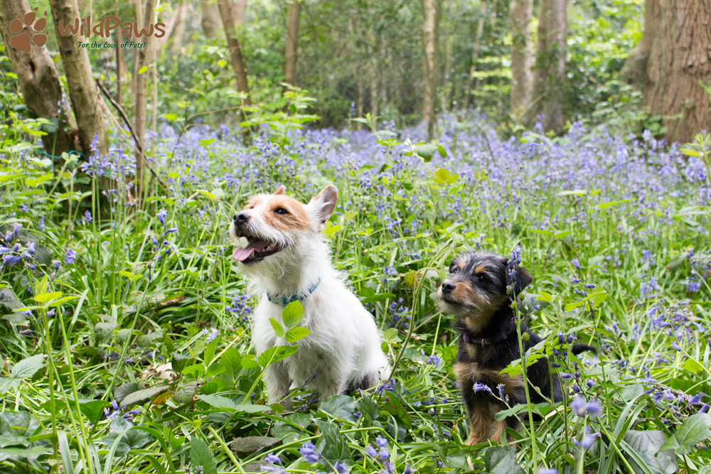 Wilbur and Paisley: WildPaws Online Pet Shop Ambassadors in Bluebell Woods